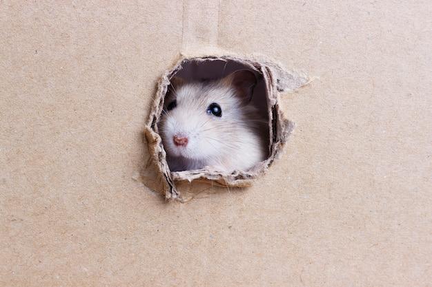 El pequeño hámster mira a través de un agujero redondo en una caja de cartón