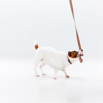 Pequeño jack russell terrier en blanco