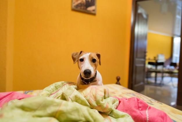 Pequeño jack russell terrier en la cama
