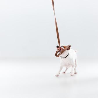 Pequeño jack russell terrier