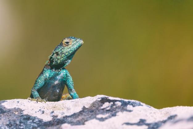 Pequeño lagarto agama sobre una roca en ciudad del cabo, sudáfrica