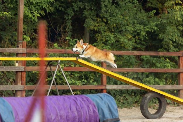 Pequeño y lindo perro corgi actuando durante el espectáculo en la competencia movimiento deportivo para mascotas