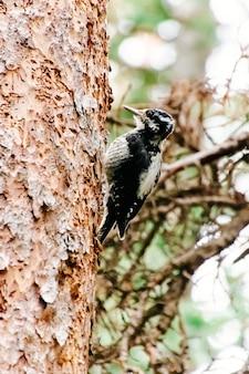 Pequeño pájaro carpintero lindo encaramado al lado de un árbol