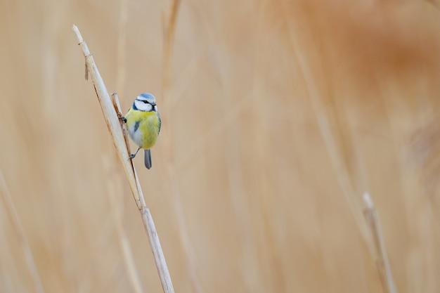 Pequeño pájaro colorido de pie sobre la hierba seca