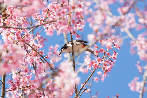Un pequeño pájaro en la rama de la cereza del himalaya salvaje con fondo de cielo azul