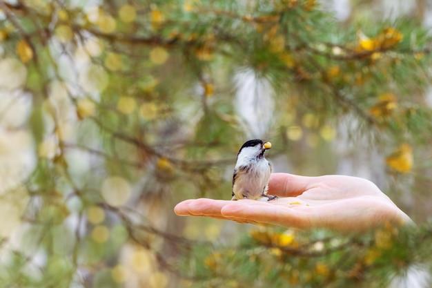 El pequeño pájaro tit del pantano come la comida de la mano.