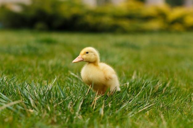 Un pequeño patito amarillo sobre la hierba verde.