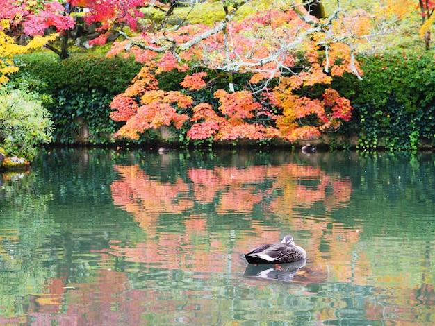 Pequeño pato nadando en el estanque otoño condimento.