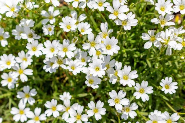 Pequeño patrón lindo de flores blancas en el jardín