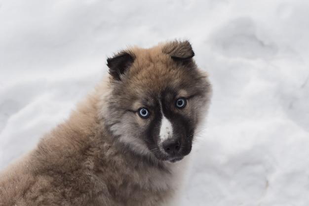 Pequeño perrito fornido que juega en nieve.