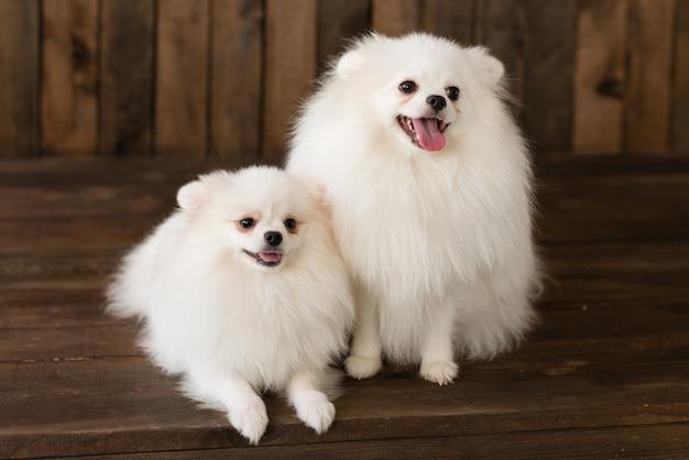 Pequeño perrito del perro de pomerania de pomerania. se puede utilizar como fondo.