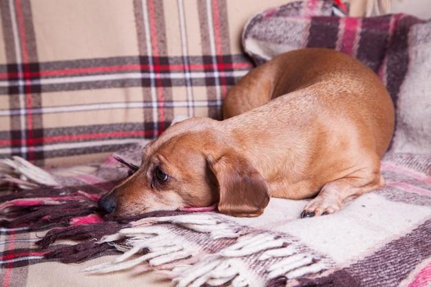 Pequeño perro basset marrón que miente en el sofá. mascotas. comodidad