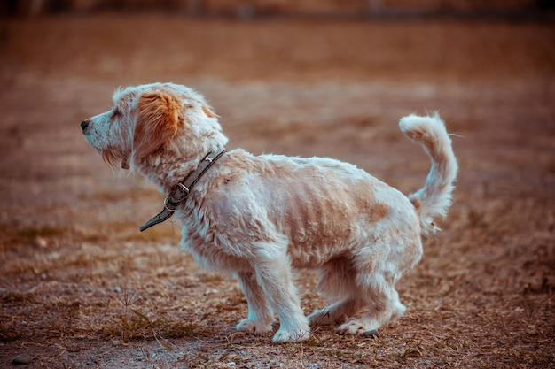Pequeño perro blanco caminando