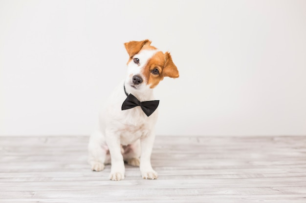 Pequeño perro blanco joven lindo que lleva un bowtie negro. sentado en el suelo y mirando a la cámara. hogar y estilo de vida, mascotas en el interior