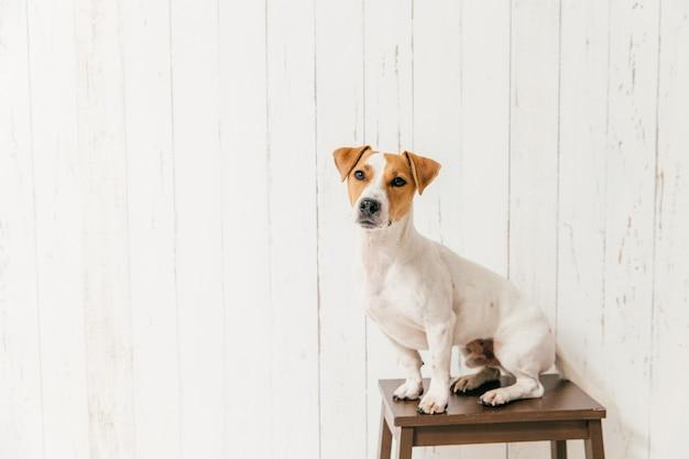 El pequeño perro jack russell terrier en la silla tiene un aspecto elegante