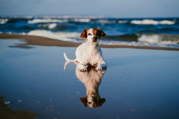 Pequeño perro lindo de jack russell que se acuesta en la playa. reflexión sobre el agua