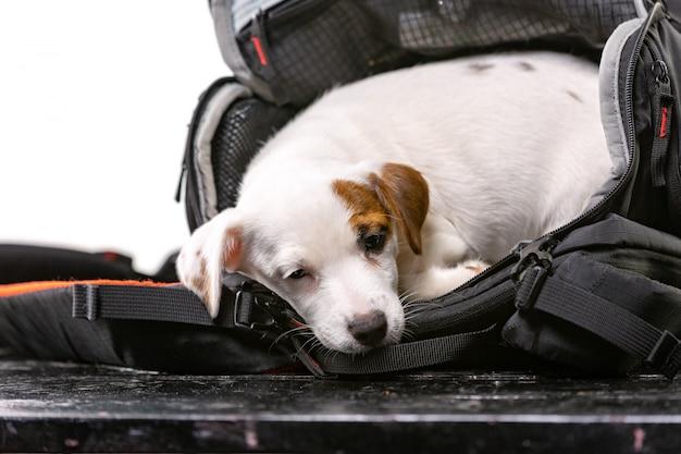 Pequeño perro lindo se sienta en una bolsa negra y mirando hacia adelante - jack russell terrier