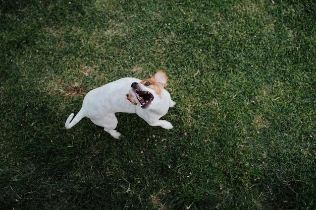 Pequeño perro lindo del terrier de jack russell que come las invitaciones en la hierba en un parque. mascotas al aire libre y estilo de vida. vista superior