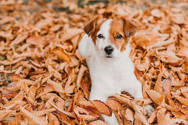 El pequeño perro lindo del terrier de jack russell que miente en marrón se va al aire libre. concepto de otoño