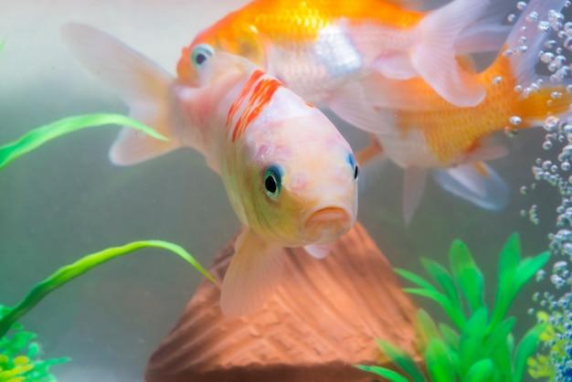 Pequeño pez en acuario o acuario