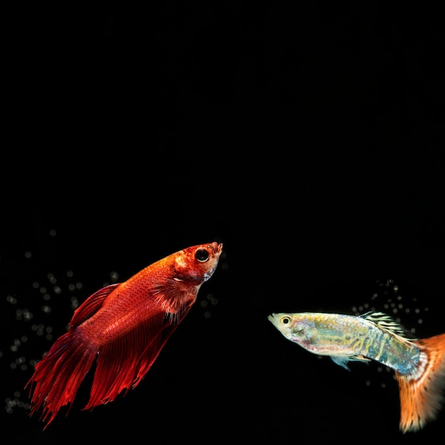 Pequeño pez betta con espacio de copia