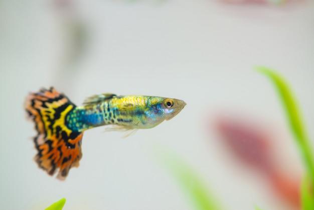 Pequeño pez en pecera o acuario, guppy