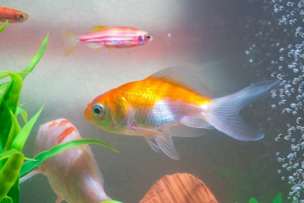 Pequeño pez en pecera o acuario, pez dorado, pez guppy y rojo, carpa elegante