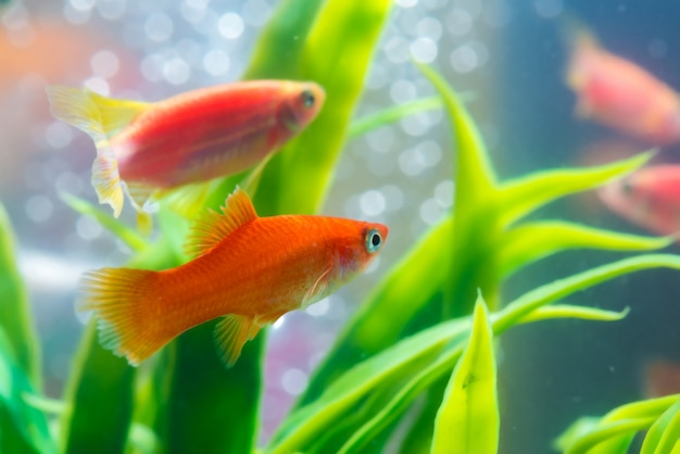 Pequeño pez rojo con planta verde en acuario o acuario