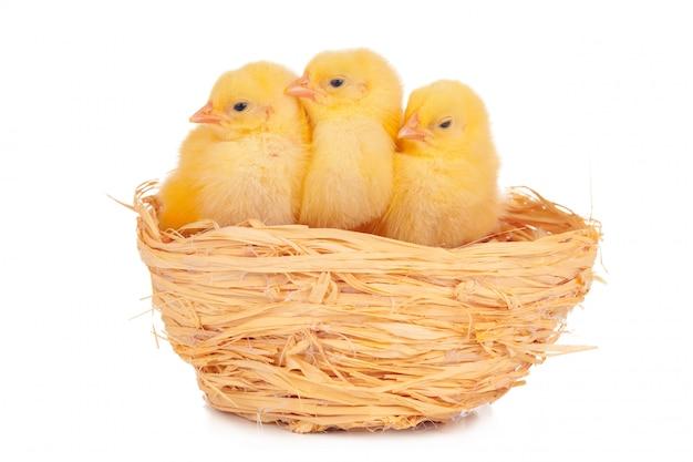 Pequeño pollito y huevos en el nido, aislado