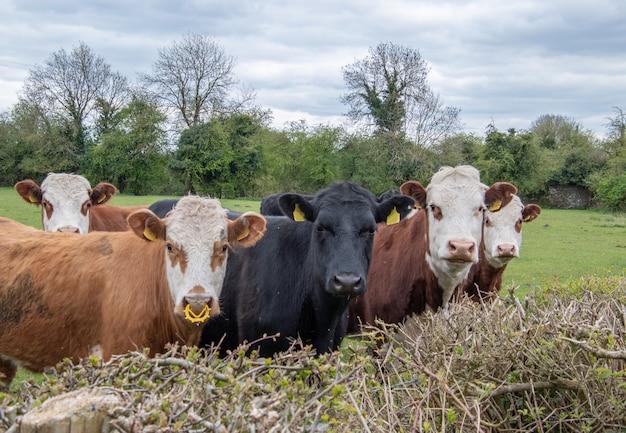 Pequeño rebaño de vacas en el pasto