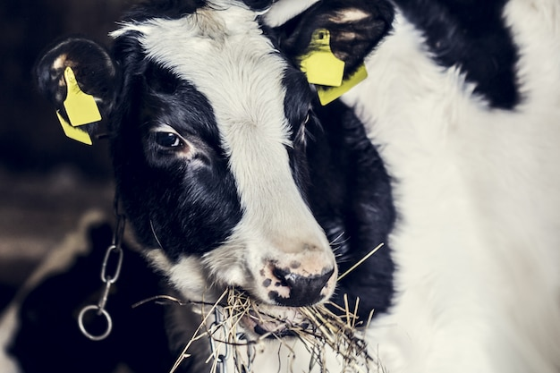 Pequeño ternero en la granja de cerca, la vida animal en la granja