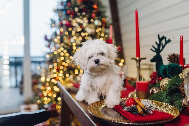 Pequeño terrier blanco en una mesa decorativa de navidad