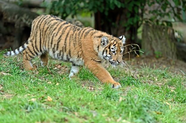 Pequeño tigre lindo jugando en la hierba