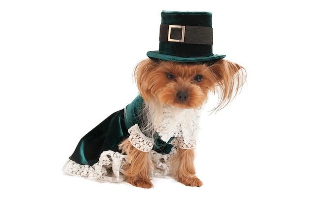 Pequeño yorkshire terrier en un hermoso traje antiguo sobre un fondo blanco.