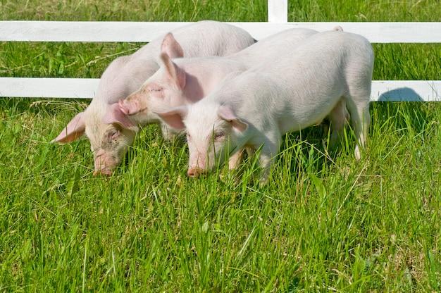 Pequeños cerdos comiendo hierba