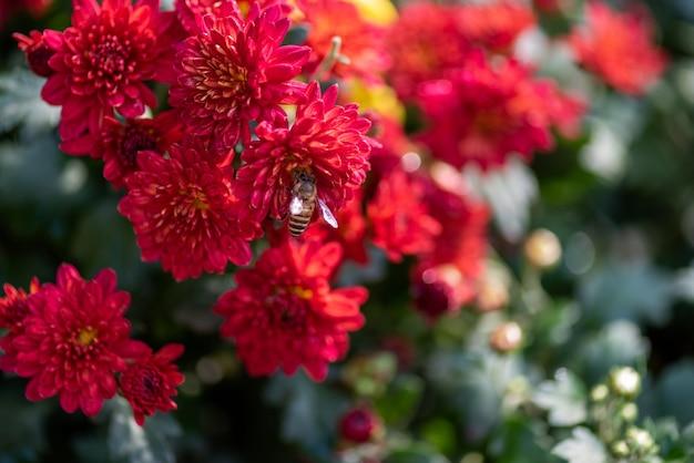 Pequeños crisantemos rojos silvestres en el parque