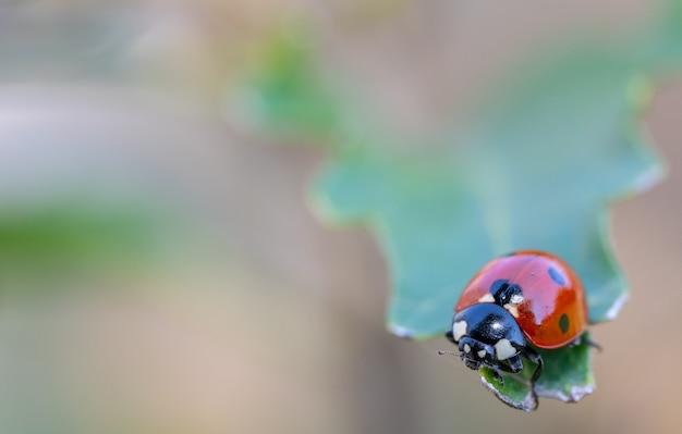 Pequeños insectos en la fotografía macro. coccinellidae, escarabajo mariquita