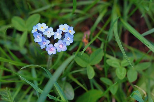 Pequeños nomeolvides azules en forma de corazón sobre un fondo de hierba verde.