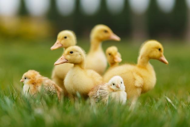 Pequeños patitos y pollos en césped verde.