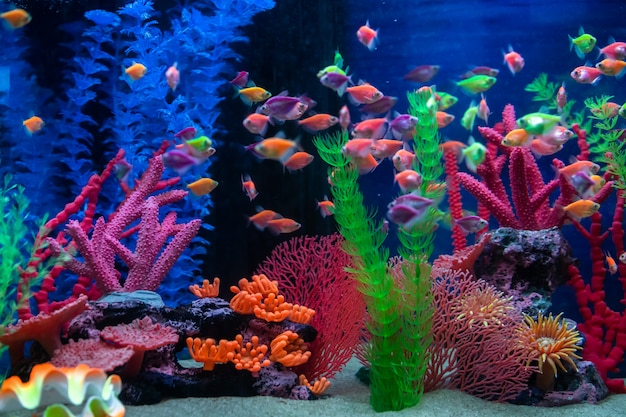 Pequeños peces multicolores en el acuario. pescado llamado ternetia caramelo o tetra negro.