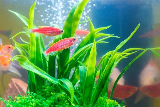 Pequeños peces rojos con planta verde en pecera