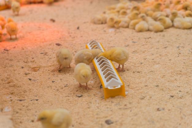Pequeños pollos amarillos comen en la granja