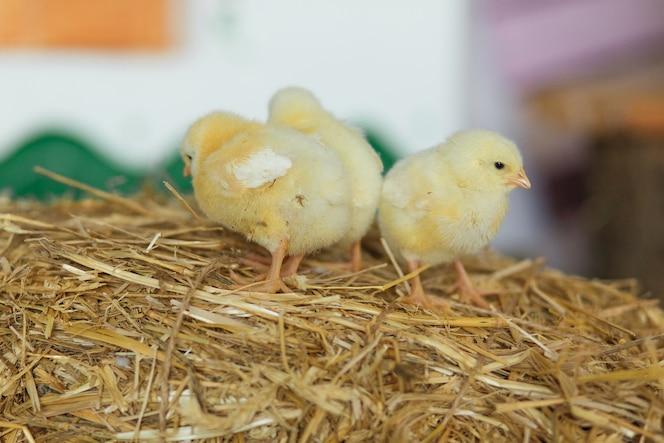 Pequeños polluelos en el heno. concepto de pascua