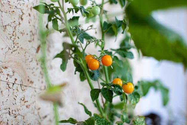 Pequeños tomates verdes y maduros que crecen en el alféizar de la ventana. mini verduras frescas en invernadero en una rama con frutos verdes. frutos tiernos en el monte. frutos amarillos de tomates en una rama