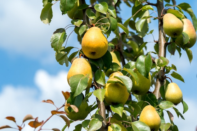 Peras maduras frutas que crecen en el árbol de verano.