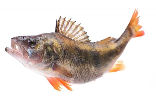 Perca de pescado