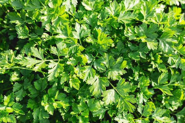 El perejil en el jardín del agricultor como alimento o medicina. buenas plantas de perejil orgánico verde crecen en campo abierto.