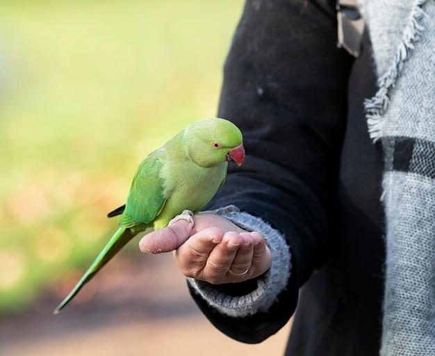 Un periquito de cuello anillado come migas de galleta de la mano de una mujer en un parque público