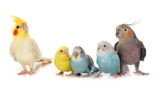Periquito mascota común y cockatiel
