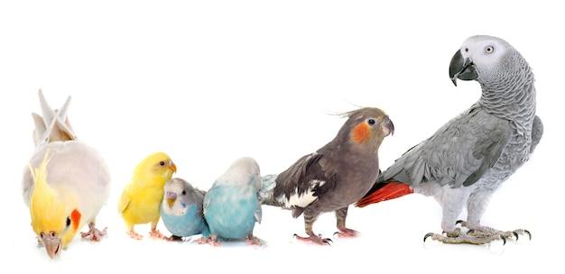 Periquito mascota común, loro y cockatiel